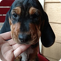 Adopt A Pet :: Simba - Tampa, FL