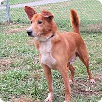 Shepherd (Unknown Type) Mix Dog for adoption in Batavia, Ohio - Sonny