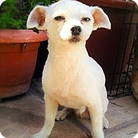 Terrier (Unknown Type, Small)/Maltese Mix Dog for adoption in San Diego, California - COCO