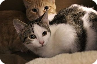 Domestic Shorthair Cat for adoption in West Des Moines, Iowa - Spencer