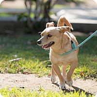 Adopt A Pet :: Polo - San Diego, CA