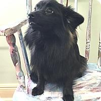 Adopt A Pet :: Buster ~ DOB 7/16/16! - Brattleboro, VT
