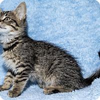 Adopt A Pet :: Alley - Mt. Prospect, IL