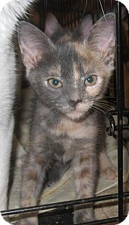 Domestic Shorthair Kitten for adoption in Harriman, NY, New York - Loma