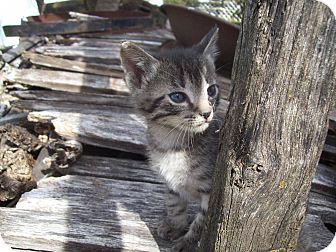Domestic Shorthair Kitten for adoption in Walnut, Iowa - Boomer