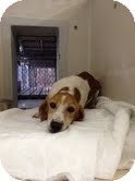 Beagle/Dachshund Mix Dog for adoption in Lancaster, Virginia - Lilly