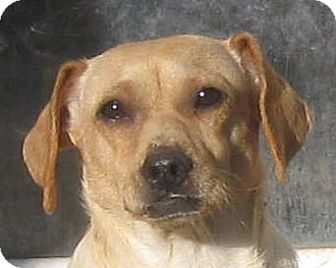 Pug/Beagle Mix Dog for adoption in Oakley, California - Mystery