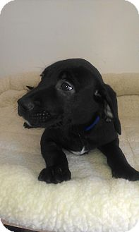 Labrador Retriever Mix Puppy for adoption in Waldorf, Maryland - Max 412