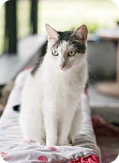Domestic Shorthair Cat for adoption in Carencro, Louisiana - Athena