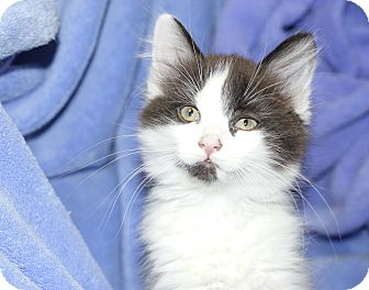 Domestic Longhair Kitten for adoption in Kensington, Connecticut - Azalea