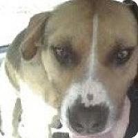 Adopt A Pet :: cowboy - Justin, TX
