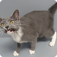 Domestic Shorthair Cat for adoption in Seguin, Texas - Tequila