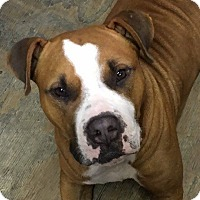 Boxer/American Bulldog Mix Dog for adoption in Houston, Texas - Teddy