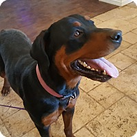 Adopt A Pet :: Justice - HESPERIA, CA
