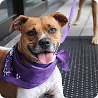 Adopt A Pet :: Sugar Mae - Littleton, CO
