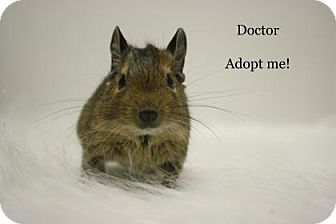 Degu for adoption in West Des Moines, Iowa - Doctor
