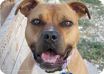 American Staffordshire Terrier Mix Dog for adoption in Hartville, Wyoming - Freida