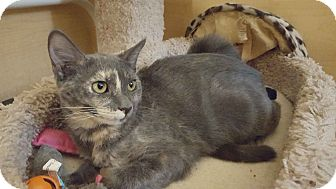 Calico Cat for adoption in El Cajon, California - Loretta