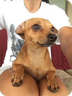 Chihuahua/Dachshund Mix Dog for adoption in Abbeville, Louisiana - Lil Bit