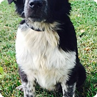 Border Collie Mix Dog for adoption in Texico, Illinois - Moose