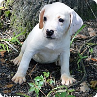 Treeing Walker Coonhound/Catahoula Leopard Dog Mix Puppy for adoption in Lake Pansoffkee, Florida - River
