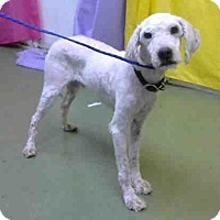 Poodle (Miniature) Mix Dog for adoption in San Bernardino, California - URGENT on 10/14 @DEVORE
