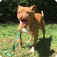 Adopt A Pet :: OTTO - Okatie, SC