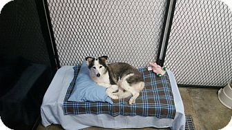 Australian Shepherd/Husky Mix Dog for adoption in Port Clinton, Ohio - DIXIE