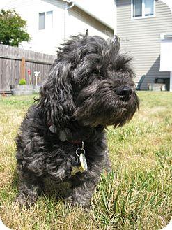 Standard Schnauzer/Poodle (Miniature) Mix Dog for adoption in Battle Ground, Washington - Friday