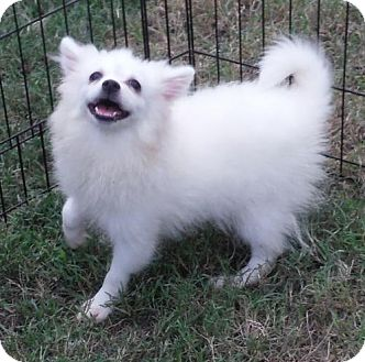American Eskimo Dog Puppy for adoption in Venice, Florida - Layla