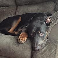 Adopt A Pet :: Bear - Akron, OH
