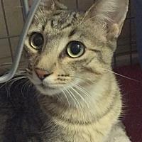 Adopt A Pet :: Hypurr - Foster me! - Gilbert, AZ