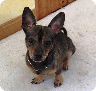 Chihuahua Mix Dog for adoption in Dartmouth, Massachusetts - Scotch