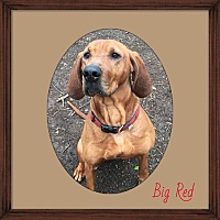 Adopt A Pet :: Big Red - Walden, NY