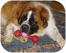 St. Bernard Dog for adoption in Wayne, New Jersey - BUDDY