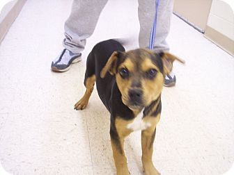 Rottweiler/Labrador Retriever Mix Puppy for adoption in Germantown, Maryland - Jaxie