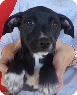 Labrador Retriever/Boxer Mix Puppy for adoption in Oviedo, Florida - Betsy