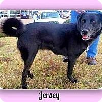 Chow Chow/Labrador Retriever Mix Dog for adoption in Eddy, Texas - Jersey
