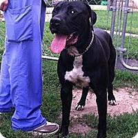 Adopt A Pet :: Capone - Fort Riley, KS