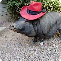 Pig (Potbellied) for adoption in Scottsdale, Arizona - Tootsie