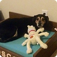 Adopt A Pet :: Layla - Windermere, FL