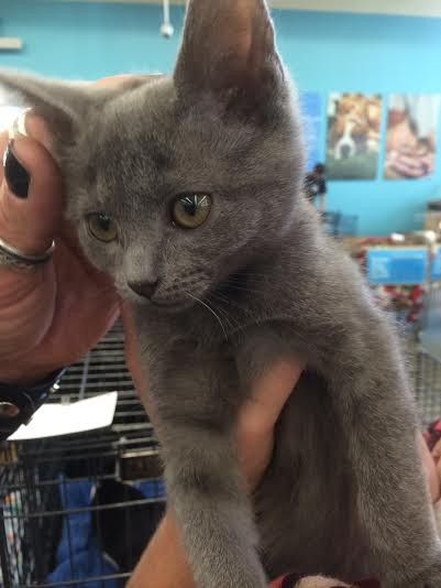 Russian Blue Cats for Adoption near Los Angeles ...