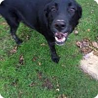 Labrador Retriever Mix Puppy for adoption in Robbinsville, North Carolina - Roxi