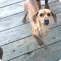 Dachshund Mix Dog for adoption in Lincoln, Nebraska - Rudy