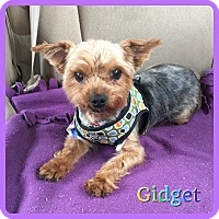 Adopt A Pet :: Gidget - Hollywood, FL