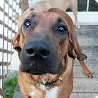 Redbone Coonhound Dog for adoption in Binghamton, New York - Rocket