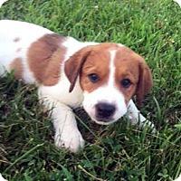 Adopt A Pet :: Dewey - Sudbury, MA