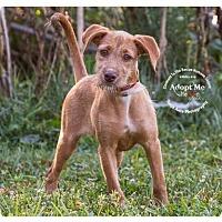 Terrier (Unknown Type, Medium) Mix Dog for adoption in Batavia, Ohio - Orchid