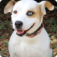 Jack Russell Terrier Mix Dog for adoption in The Woodlands, Texas - Kaci