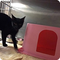 Domestic Shorthair Kitten for adoption in Janesville, Wisconsin - Baba Ghanoush